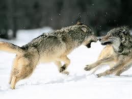 Competencia Entre Animales