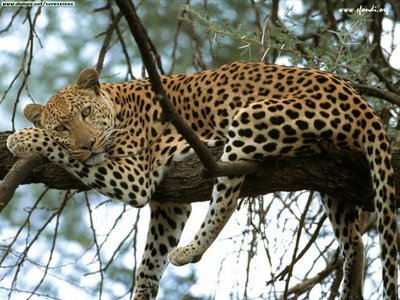 20081204123625-leopardo-kenya-africa-1-.jpg