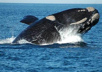 20120227191003-ballena-franca-en-extincion.jpg