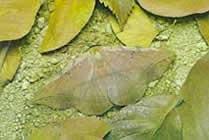 Mariposa camuflada entre las hojas secas del suelo.