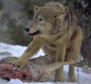 Lobo devorando a su presa.